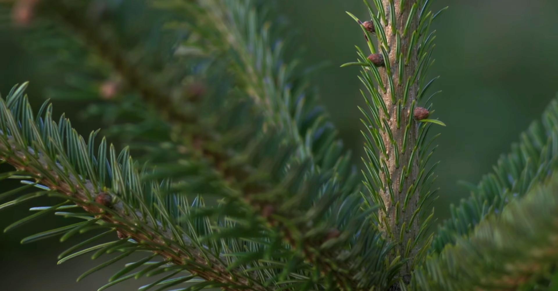 De mooiste Nordmann Excellent kerstboom in Lijnden vanaf € 15,-